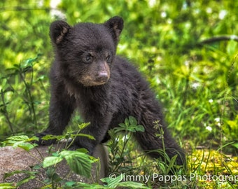 Cades Cove Black Bear Cub, Smoky Mountains, Fine Art Print, Jimmy Pappas Photography,