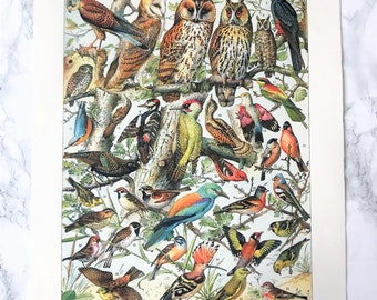Zoological poster representing several species of birds