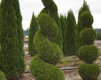green giant arborvitae 15 plants 3 pot etsy