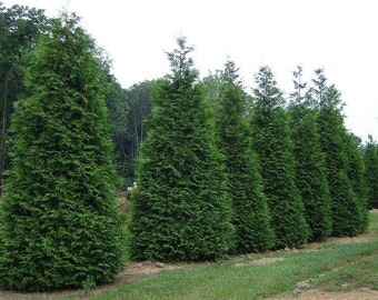 "50 Green Giant Thuja Plicata Arborvitae plants-3"" pot"