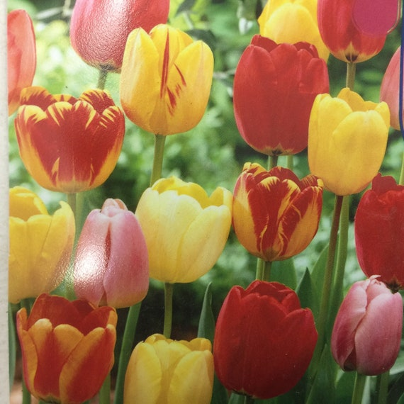Tulip Mix 3 Bulbs Mid Spring Bloomers Etsy