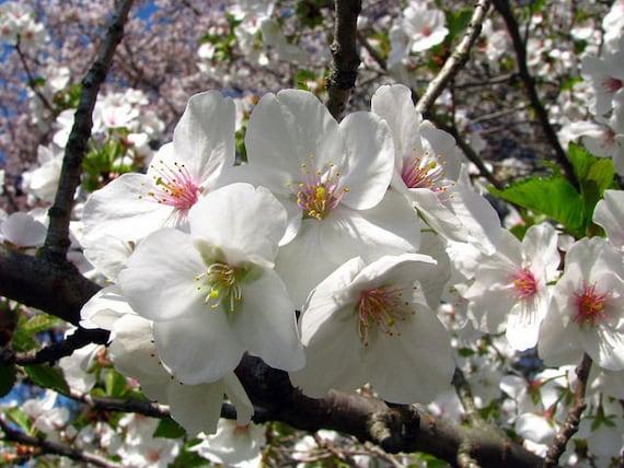 Snowgoose flowering cherry tree etsy image 0 mightylinksfo