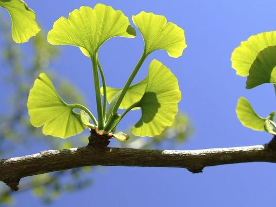 Ginkgo Biloba Tree Live Plants Pot Maidenhair Tree-Ginkobiloba 12-18 in Height in A 1Qt