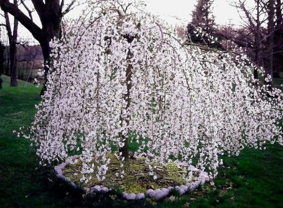 Weeping Cherry Tree Etsy