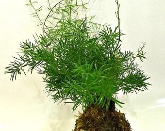 Handmade Asparagus Fern Kokedama, Home Decor Houseplant Kokedama, Japanese Indoor Bonsai Plant, A Perfect Housewarming Gift