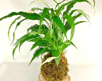 Kokedama handmade Peace Lily, Kokedama Indoor Houseplant, Indoor Japanese Moss Ball String Garden, A Birthday Gift, A Gift For Any Occasion