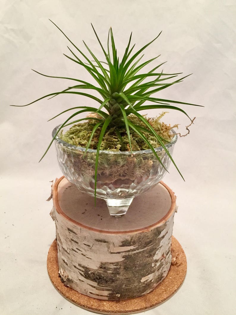 Airplant Glass Planter Tillandsia Glass Bowl Terrarium Home Etsy