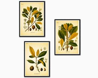 Plant illustration botanical print  Palaquium Gutta Burck tree leaf leaves vintage wall art print home office decor green yellow Set of 3