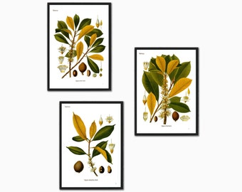 Set of 3 botanical illustration print  Palaquium Gutta Burck plant tree leaf leaves vintage wall art print home office decor green yellow