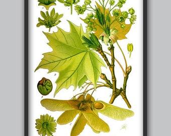 Maple Tree Wall Art Print - Maple Leaf Decor - Green Tree Poster - Botanical Illustration - Types of Tree - Botanical Art - Wall Decor