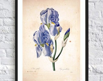 Watercolor Iris flower print vintage botanical print illustrations blue flowers print wall art print herb art home kitchen decor poster