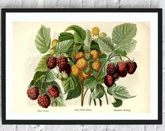 Raspberries print berries print fruit print wall art print kitchen wall art decor botanical illustrations vintage painting print red yellow