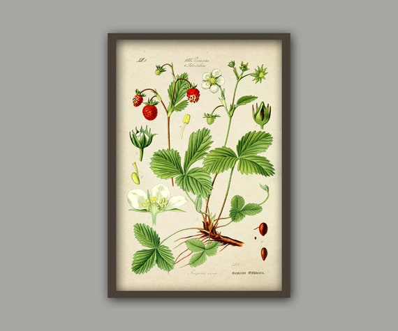 Erdbeer-Print Küche Wand Art Dekor botanische Illustration