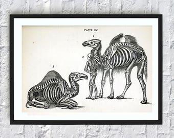 Camel anatomy print vintage animals illustrations print anatomy skeleton poster gift idea