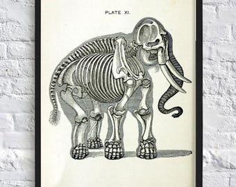 Indian Elephant anatomy print vintage animals illustrations print anatomy poster gift idea