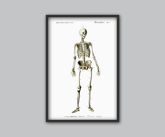 Menschliches Skelett drucken Anatomie-Poster medizinische | Etsy