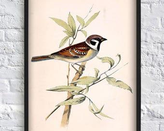 Small Sparrow print vintage bird print bird illustration print bird poster wall art print home decor antique illustration eco 8x12 12x16
