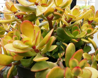3 Haworthia Cymbifomis Fvariegeta succulent plant 3.5 pot