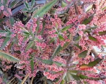 """2  Kalanchoe ' Pink Butterflies' (Mother of Thousands)Cuttings(3-4"""")"""