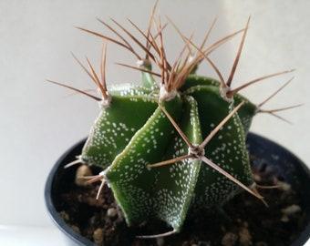 """Astrophytum Ornaturn Cacti(3.5""""pot)"""