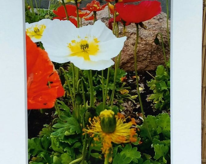 "Photo ""Iceland Poppies"" /Matted 5x7 /home or office decor."