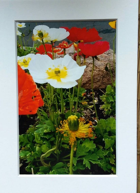 """Photo """"Iceland Poppies"""" /Matted 5x7 /home or office decor/flower photos"""