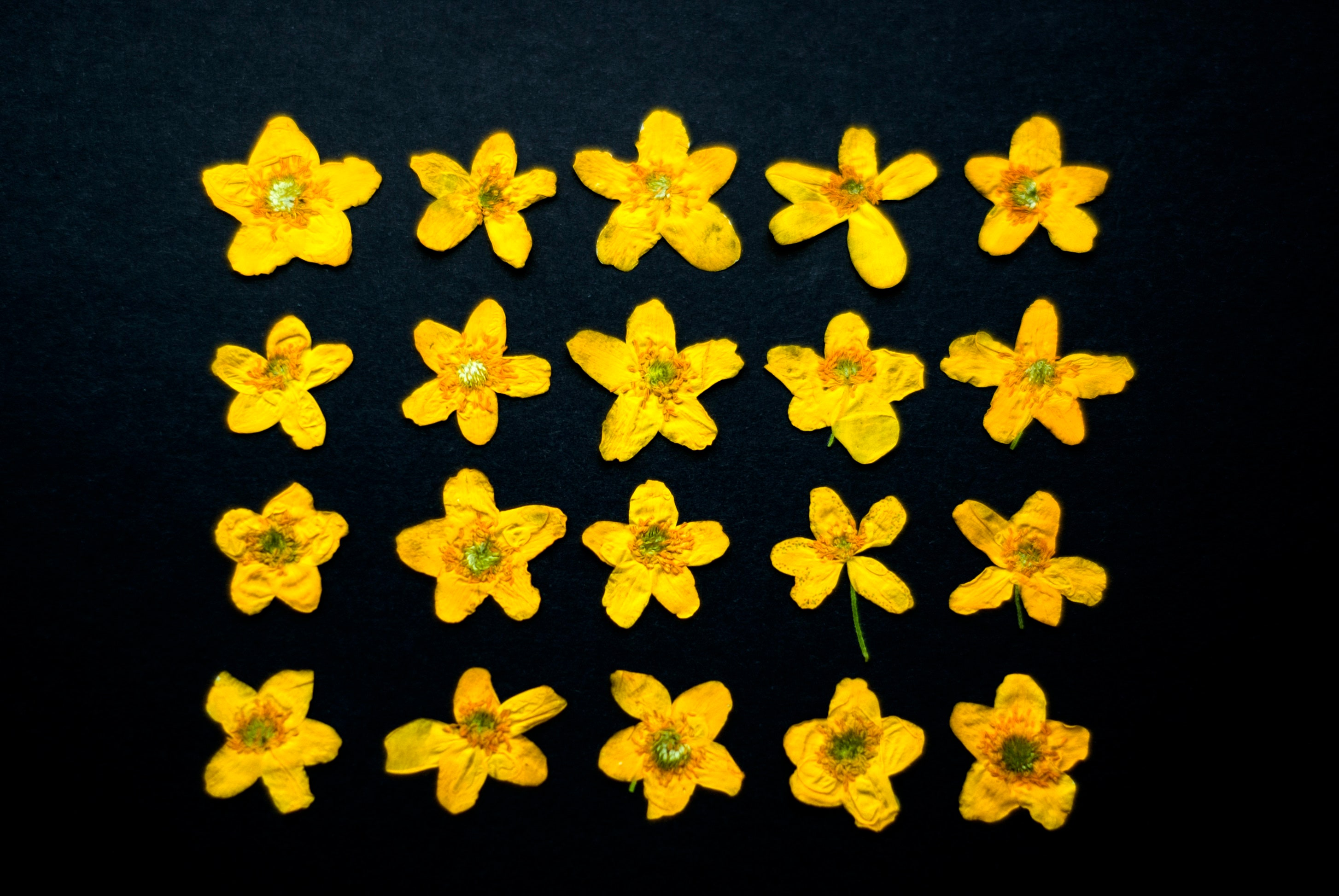 20 Dried Pressed Flowers Wild Yellow Anemone Yellow Dried Etsy