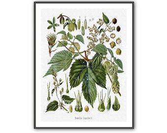 Hop Plant Botanical Print Medicinal Antique Natural Science History Medical Herbal Homeopathic Plant Remedy Nature Study Engraving az 273