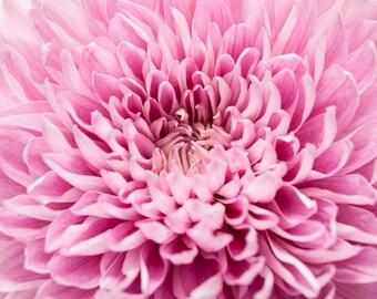 Chrysanthemum Flower Photography Art, Flower Closeup
