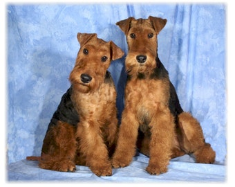 Welsh Terrier #1 Note Cards