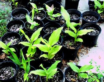LIVE Rooted Plant Yellow Turmeric (tumeric) Plant, Curcuma, Indian Saffron, Haldi, Curcuma Longa.