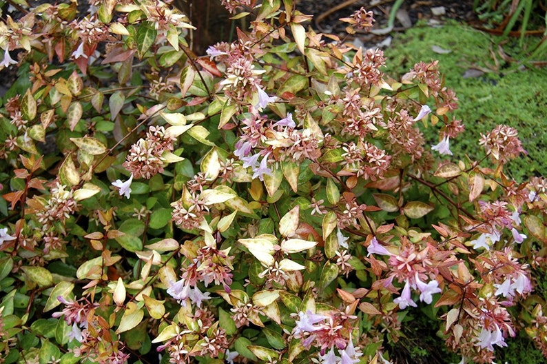 Abelia Francis Mason Qty 40 Live Plants Blooming Butterfly Etsy