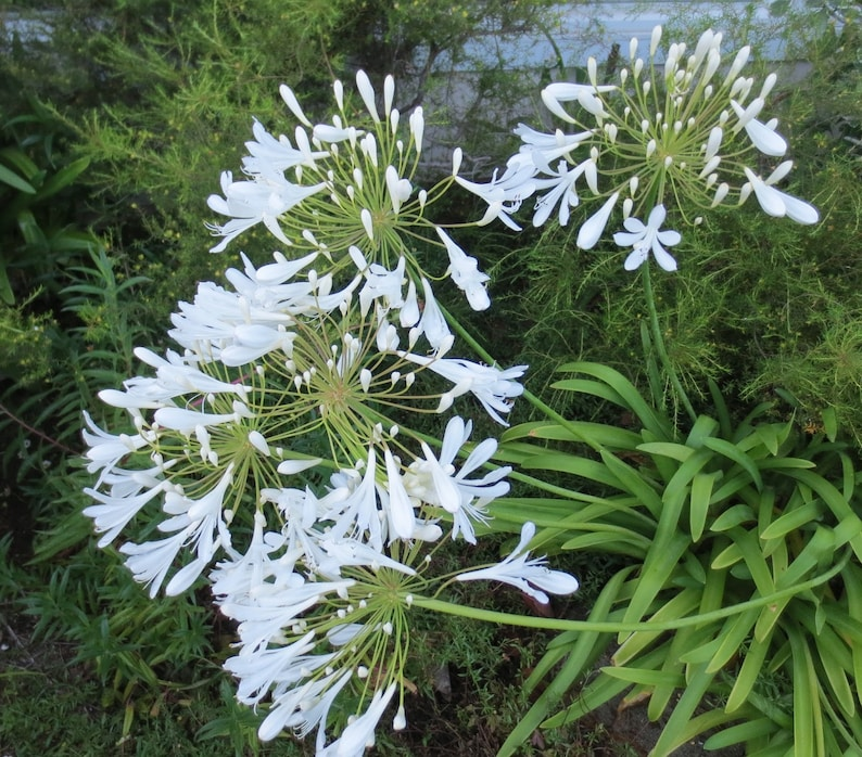 Picture of Live Lily-of-the-Nile (white) aka Agapanthus 'Getty White' Plant Fit 5 Gallon Pot