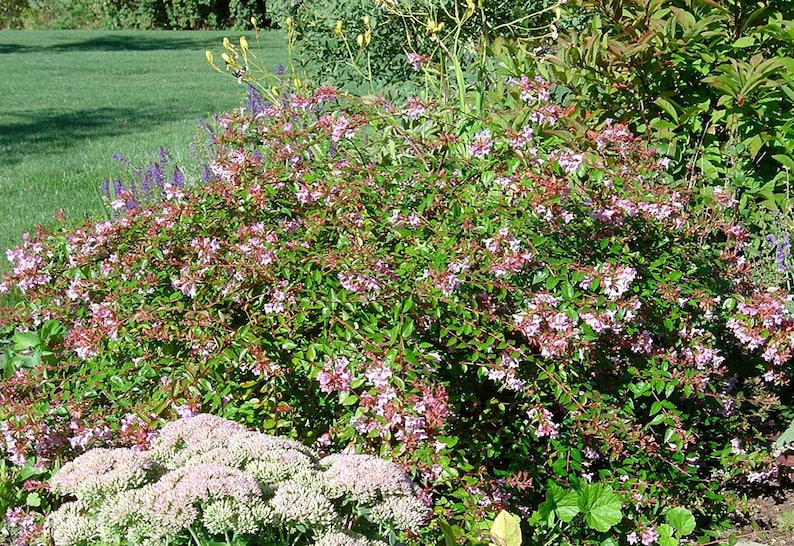 Abelia Edward Goucher Qty 60 Live Plants Flowering Butterfly Plant