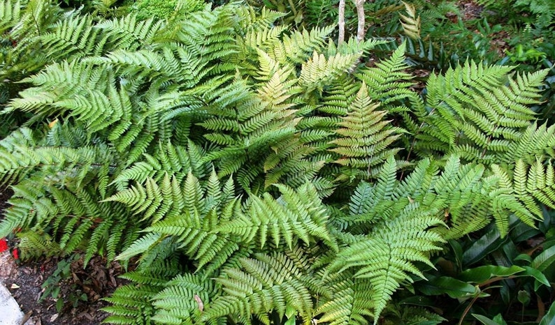 Autumn Fern Live Plants Groundcover Dryopteris Erythrosora