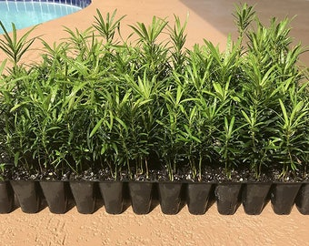 Podocarpus Macrophyllus Japanese Yew Live Plants Evergreen Hardy Privacy Hedge