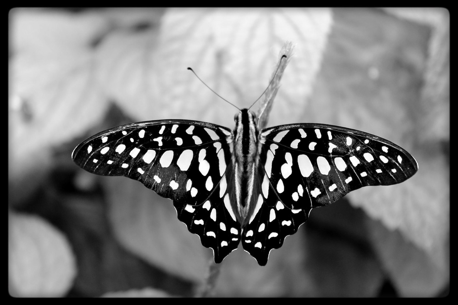Butterfly black and white photography close up butterfly photo original photo art butterfly butterflies insects insect photography