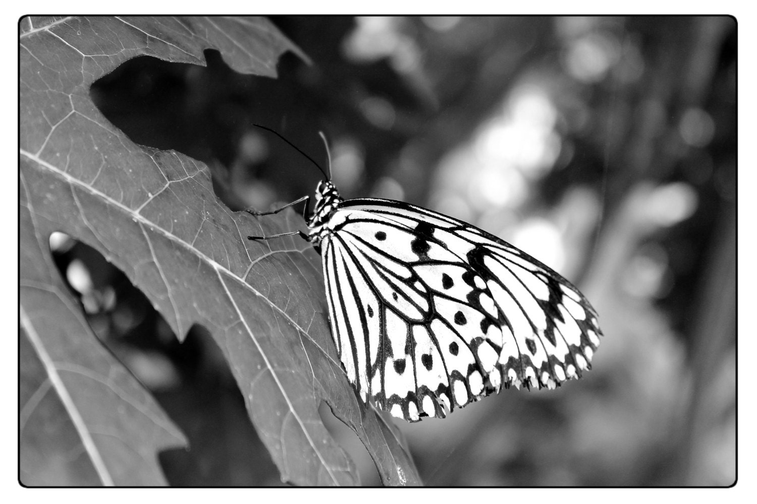 Black white nature photography butterfly photo high contrast original photography close up insect photography butterflies insects