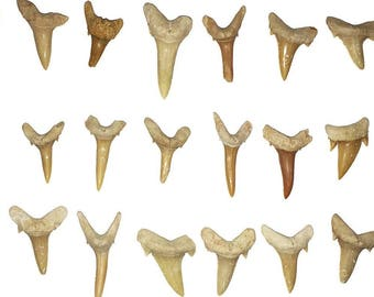 25 Fossilized Shark Teeth in Bag - Fossil Pack - Great for Crafts, Jewelry Projects, Wire Wrap
