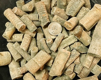 1 Pound of Fossilized Crinoid Stems - Bulk Fossils - Great for Jewelry/Crafts!