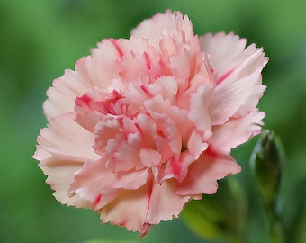 Wholesale 5-Pack of Carnation Perfume