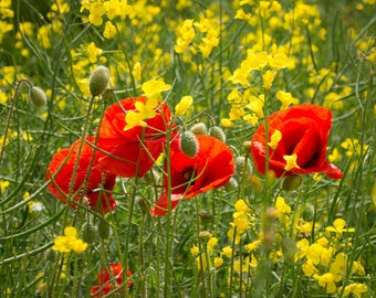 Canvas wall art - Poppies in the meadow 100cm x 75cm x 2cm