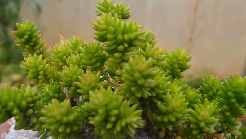 live succulent plant Cotyledon batesii Villadia batesii