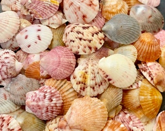 Natural Sea Shells, Natural Seashells, Natural Shells, Craft Seashells, Seashells For Crafts, Shells For Art, Seashells for Jewelry