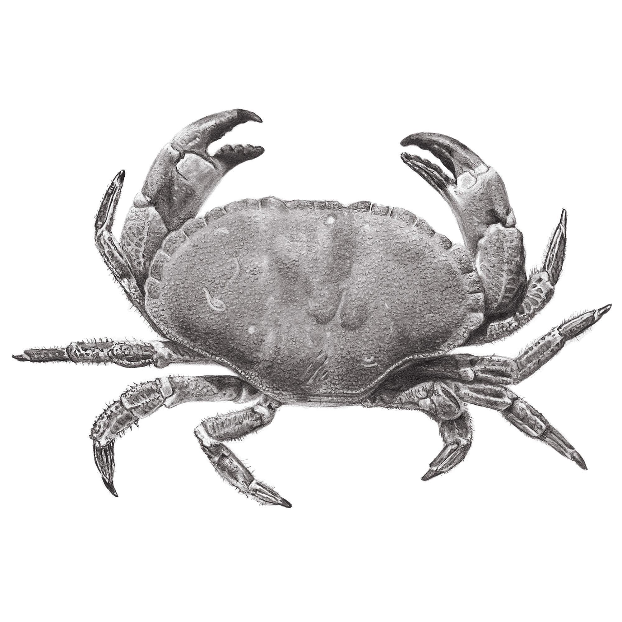 Edible crab glicée print of graphite pencil drawing