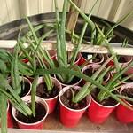 Aloe Vera Plants -