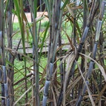 Sugar Cane for Syrup