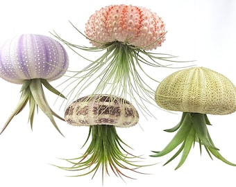 Air purifying plant Kit / Includes Plants, Shells, and Hanging Accessories, + Gift Box / 4 Pcs Sea Urchin Air Plant Jellyfish Lot