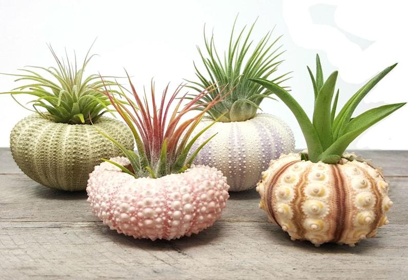 4 Pcs Sea Urchin Air Plants Lot / Kit Includes 4 Plants and 4 image 0