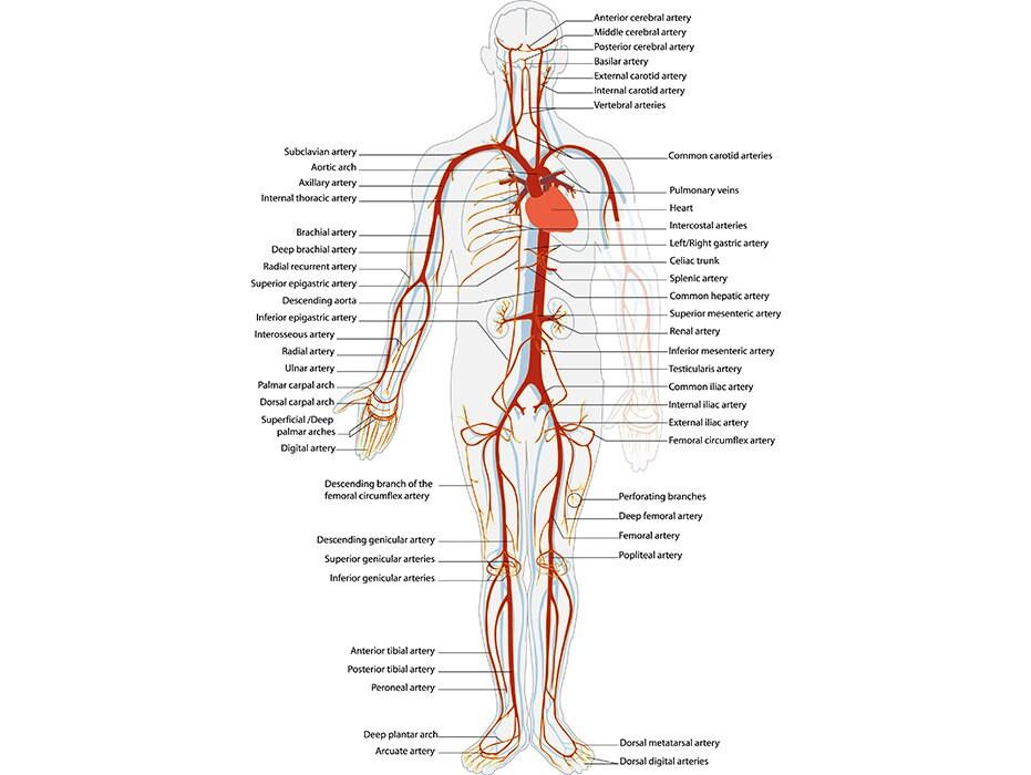 Arterial System 1 Artery Vein Cardiovascular Anatomy Human Etsy